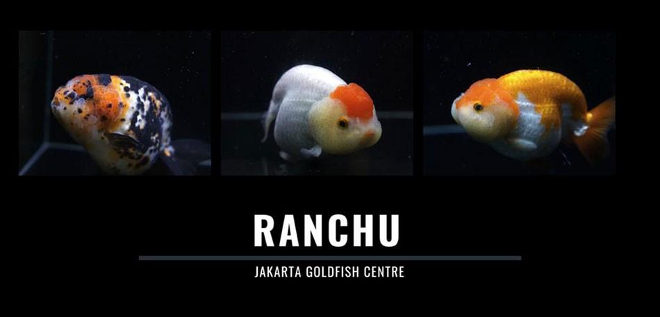 Ranchu